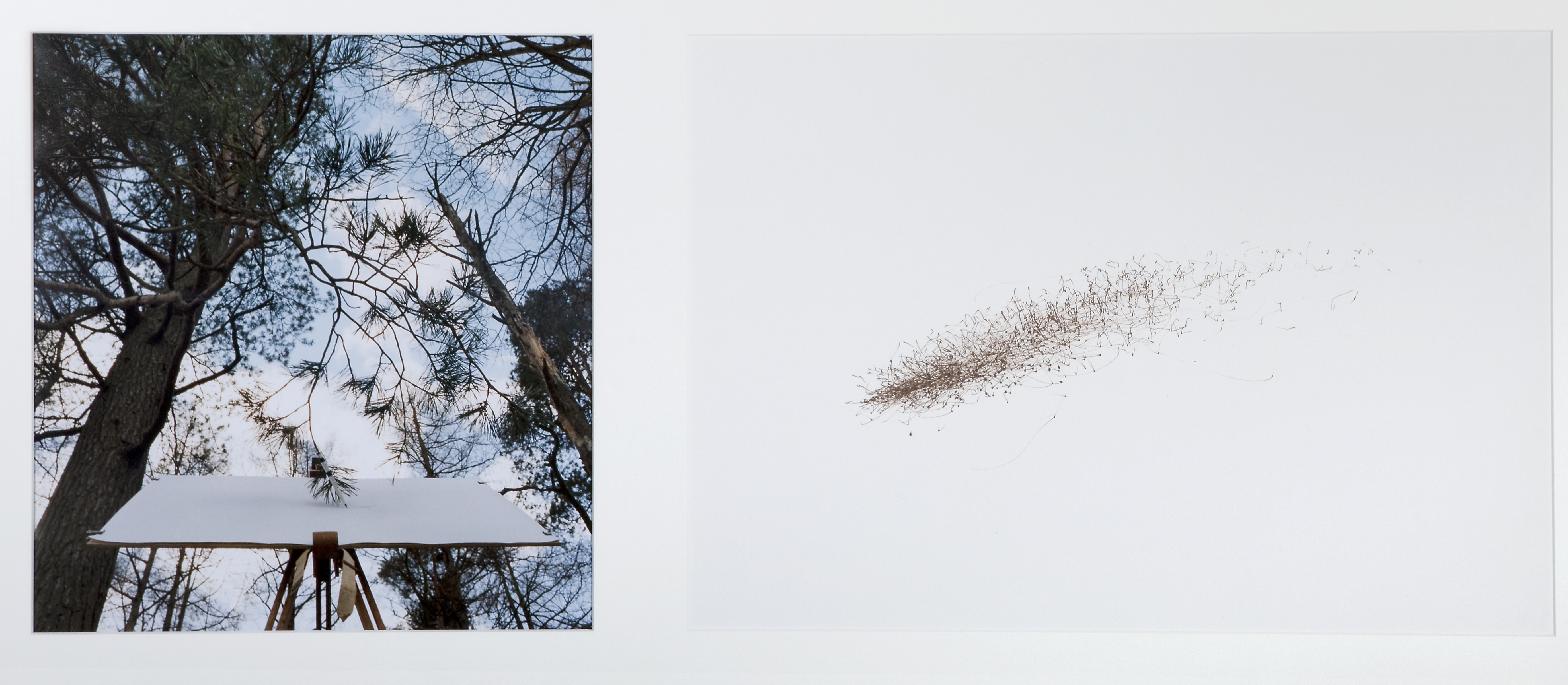 Tim Knowles, Tree Drawing - Scots Pine on Easel #2 PRINT